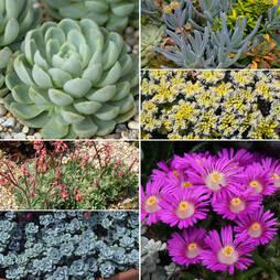 Sedum and Succulent Collection