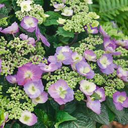 Hydrangea macrophylla 'Blueberry Cheesecake'