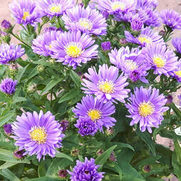 Aster novi belgii 'Magic Blue'