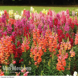 Antirrhinum 'Autumn Dragons Mixed' (Garden Ready)