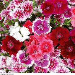 Sweet William 'Festival Mixed'