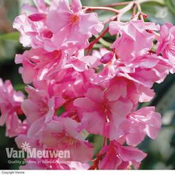 Oleander 'Pink'