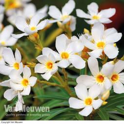 Oleander 'White'