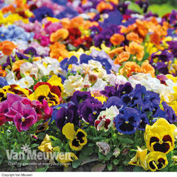 Pansy 'Matrix Mixed'