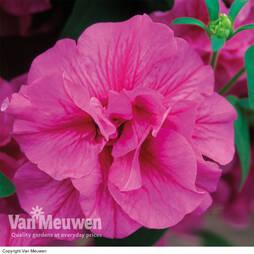 Petunia 'Candy Floss' (Tumbelina Series)