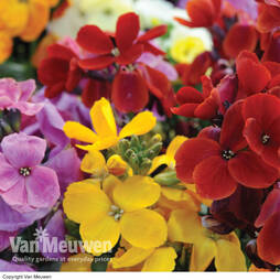 Wallflower 'Sugar Rush' (Garden Ready)
