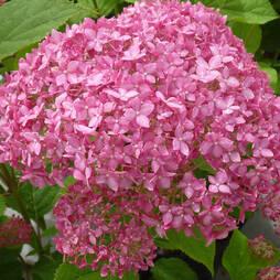 Hydrangea arborescens ' Pink Annabelle'
