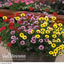 Argyranthemum 'GranDaisy Mix'