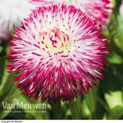 Bellis perennis 'Pomponette Bicolour' (Garden Ready)