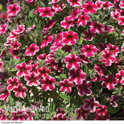 Calibrachoa 'Crave Strawberry Star'