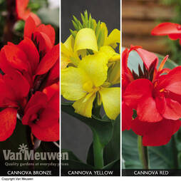 Canna x generalis 'Cannova Collection'