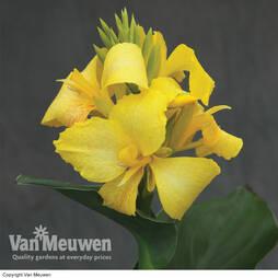 Canna x generalis 'Cannova Yellow'