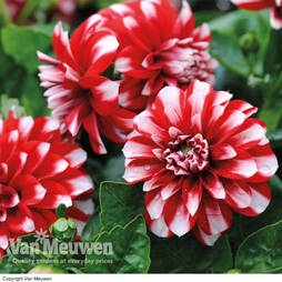 Dahlia 'Dwarf Ice and Fire'