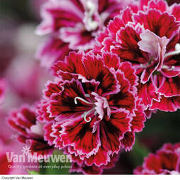 Dianthus 'Dynasty Mixed'