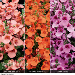 Diascia 'Divara Collection'