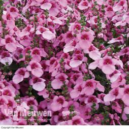 Diascia 'Divara Pink'