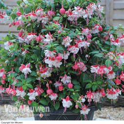 Fuchsia 'Swingtime' with Tower Pot Kit (half frame)