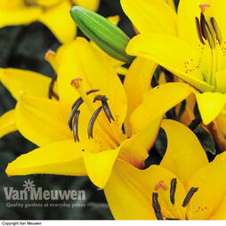 Lily 'Defender Yellow'