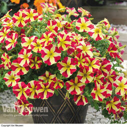 Petunia 'Amore Queen of Hearts'