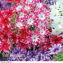 Phlox 'Pop Stars Mixed'