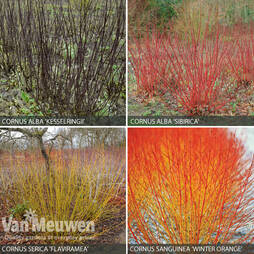 Cornus Collection