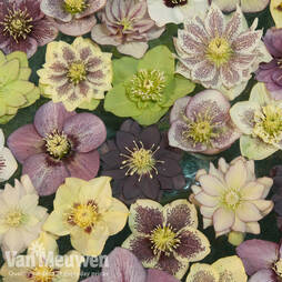 Hellebore 'Breeders Mix'