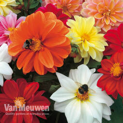 Dahlia 'Patio Choice' Mix