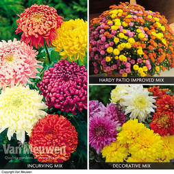Chrysanthemum Collection