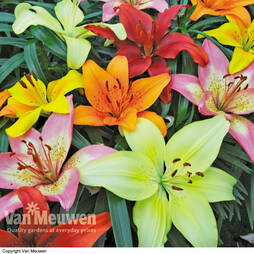 Lily 'Joy Mixed'