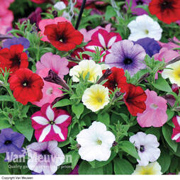 Petunia 'Easy Wave Ultimate Mixed' (Garden Ready)