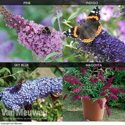 Buddleja Buzz® Patio Collection