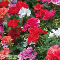 Geranium 'Jackpot Mixed' (Garden ready)