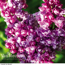 Lilac 'Katherine Havemeyer' (Large Plant)