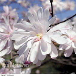 Magnolia stellata 'Rosea' (Large Plant)