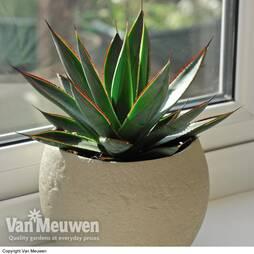 Agave 'Shaka Zulu' (House Plant)