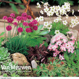 Nurserymans Choice Seasonal Alpine and Rockery Collection