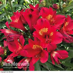 Alstroemeria 'Summer Red'