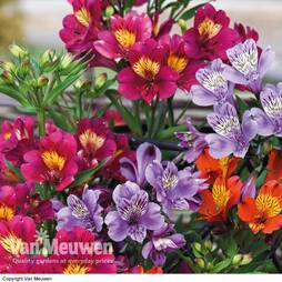 Alstroemeria 'New Tree Everest Mix'