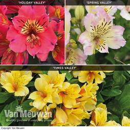 Alstroemeria 'Valley' Collection (Summer Paradise Series)