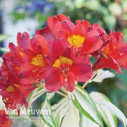 Alstroemeria 'Rock 'n' Roll'