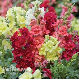 Antirrhinum majus 'Madame Butterfly Mix'