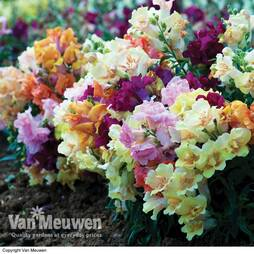 Antirrhinum 'Mini Butterflies Mixed'