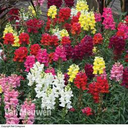 Antirrhinum 'Sonnet Mixed'