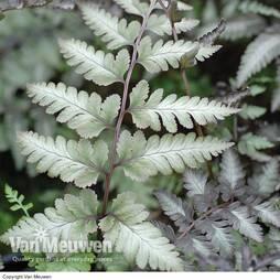 Athyrium niponicum var. pictum 'Ghost'
