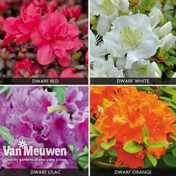 Azalea 'Dwarf Collection'