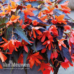 Begonia 'Bossa Nova Night Fever Papaya'