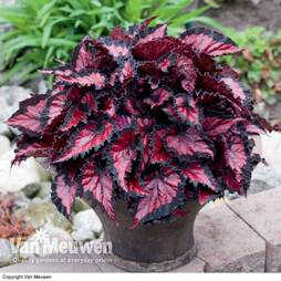 Begonia 'BeLeaf Inca Night'