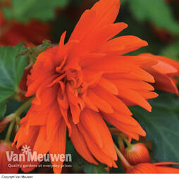 Begonia 'Funky Orange'