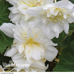 Begonia 'Funky White'