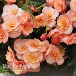 Begonia 'Esm' Peach'